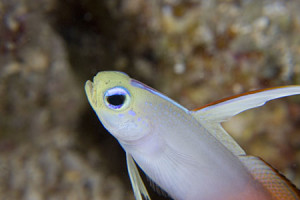 100-macro-fire-goby-wet-two